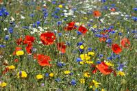 Trawa, nasiona traw, łączka kwietna, łąka kwietna, łączka wiejska - KRAKÓW